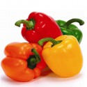 CAPSICUM 4 COLOUR